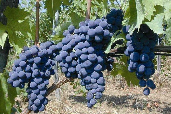 uva-sangiovese