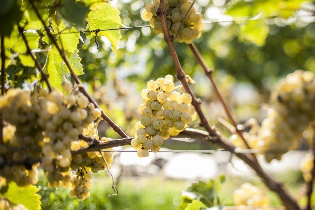 Pinot Bianco @florianAndergassen